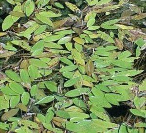 American Pond Weed
